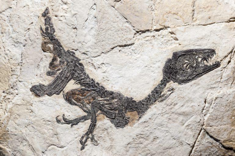 reconstruction-of-fossil-of-scipionyx-samniticus-PNARX78