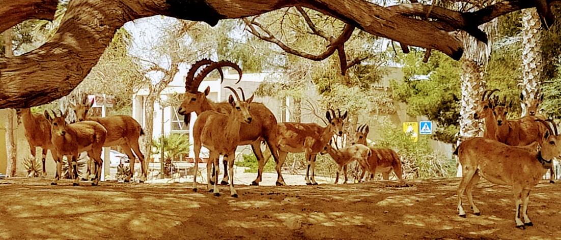 יעלים בשדה בוקר, צילום: תמר קידר