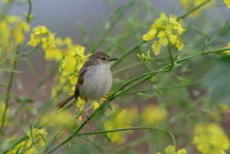 צילום: אוריה שדה (פשוש נח על גבעול צמח חרדל השדה)