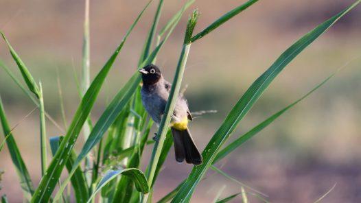 ציפור בולבול, צילום: אוריה שדה